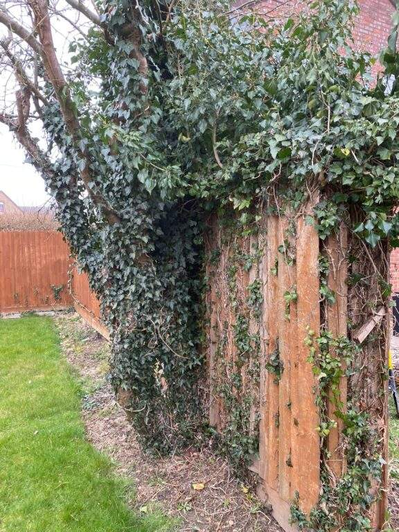 Old fencing with ivy that needed taking down